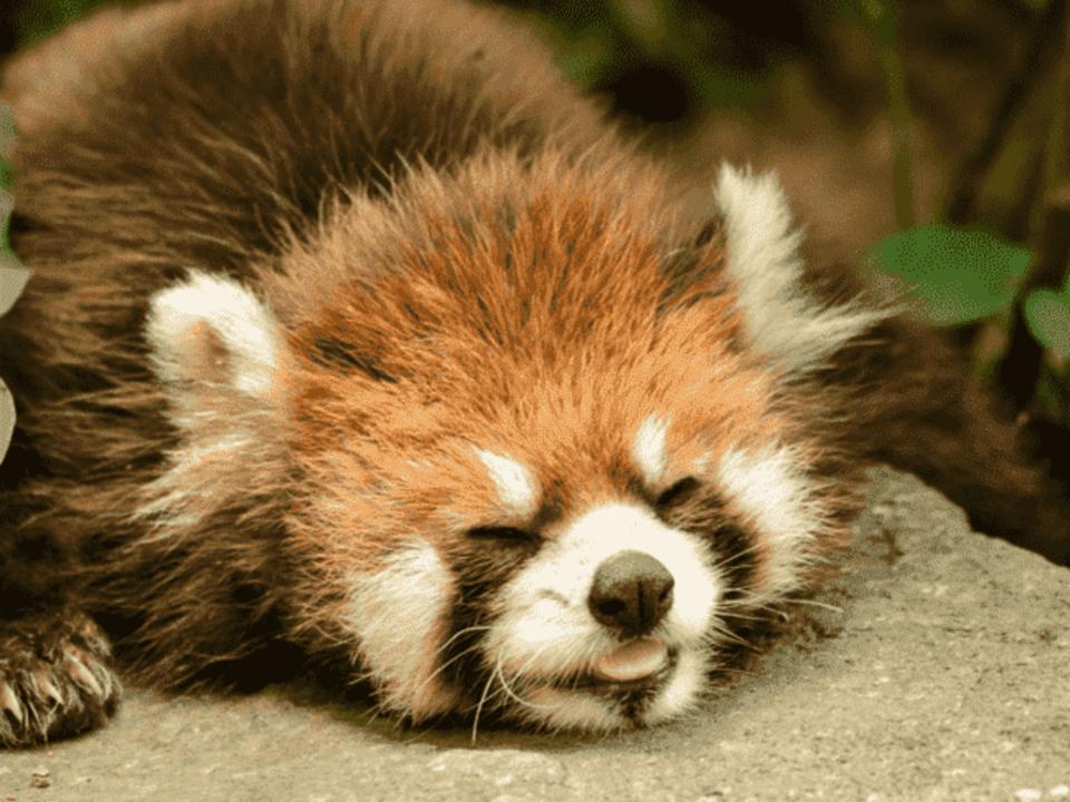 可愛い過ぎるレッサーパンダが大人気♡ 人混みの少ない穴場デートスポットでゆったり出会える♪ 千葉市動物園デートコン☆ 愛くるしい動物達が男女の恋をサポート♡