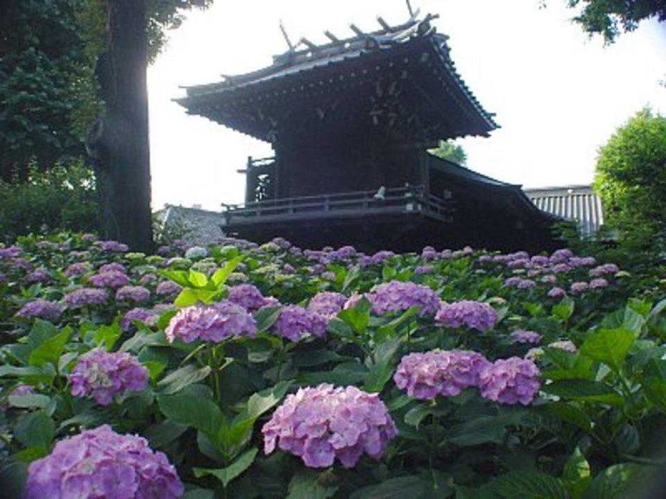 男性満席!女性急募!約3000株のアジサイが咲く白山神社を歩こう! 梅雨時ならではの散歩をお楽しみください!