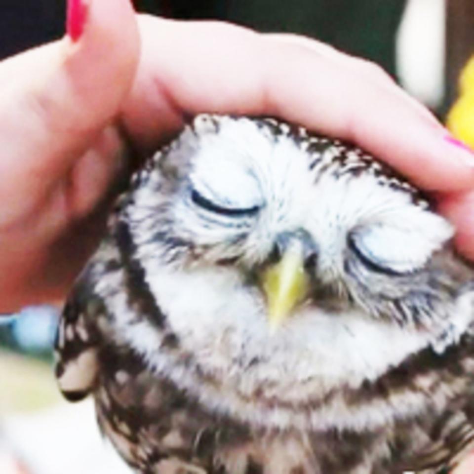開催中止になります!同世代の出会い!【25歳〜35歳まで】貴重な体験!可愛いフクロウと鷹に癒されよう!原宿フクロウ&鷹カフェコン!