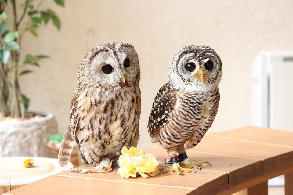 【超人気フクロウカフェ完全貸切】貴重な体験!可愛いフクロウと鷹に癒されよう!原宿フクロウ&鷹カフェコン!